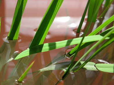 Leaf gas films on deepwater rice by Ole Pedersenjpg