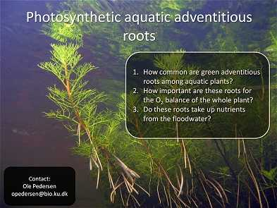 Aquatic adventitious roots of Meionectes brownii